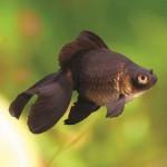 BLACK BUTTERFLY 6-7 CM-1