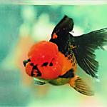 RED BLACK ORANDA 12-13 CM