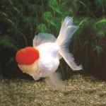 RED CAP ORANDA 16-17 CM