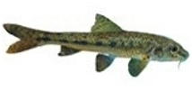 Kaltwasserfische for Gartenteich muscheln
