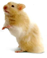 hamster/Mesocricetus Auratus Angora