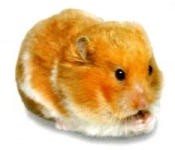 hamster/Mesocricetus Auratus