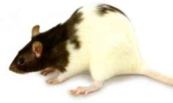 ratte/Rattus norvegicus