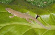 olivgrüner taggecko