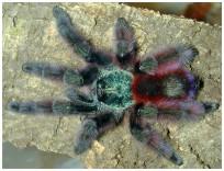 avicularia-versicolor
