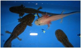 axolotl/Ambystoma mexicanum
