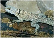 madagskar_baumleguan/Oplurus cuvieri