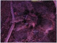 Brachpelma Albopilosum