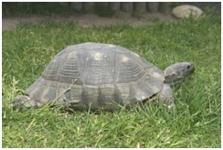 breitrandschildkröte/Testudo marginata