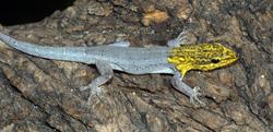 Gelbkopf Taggecko