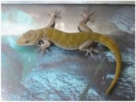 goldkopfgecko/Gecko ulikovski