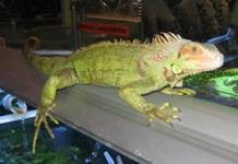 gruener_leguan/Iguana Iguana