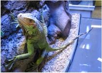 l2/Iguana Iguana