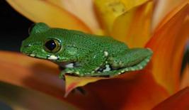 Grüner Waldsteigerfrosch