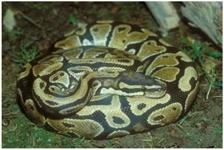 koenigspython/Python regius