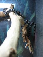 kornnatter black/Elaphe [Pantherophis] guttata