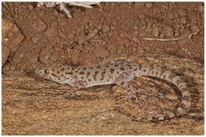 Krokodilgecko