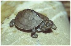 mississippi_hoeckerschildkröte/Graptemys p. kohnii