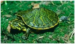 Nelson's Rotbauch Schmuckschildkröte/Pseudemys nelsoni